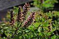 J20170511-0183—Amorpha californica—RPBG (34790688126).jpg