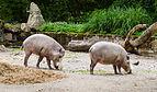 Jabalí barbudo (Sus barbatus), Tierpark Hellabrunn, Múnich, Alemania, 2012-06-17, DD 01.JPG