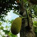 Jackfruit (68715683).jpeg