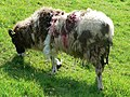 Jacob ewe - geograph.org.uk - 796022.jpg
