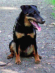 Jagdterrier-Wikipedia.jpg