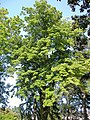 Jardin des plantes Nantes-tilleul.jpg