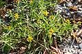 Jasonia tuberosa -3008 - Flickr - Ragnhild & Neil Crawford.jpg