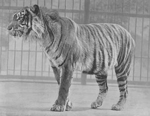 Javan tiger - A Javan tiger in London Zoo before 1942.
