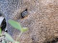 Javelina...eyelash envy - Flickr - gailhampshire.jpg