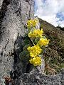 Jenner Alpenblumen 9.JPG