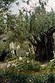 Jerozolima ogrod oliwny 2000 v05.jpg