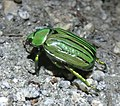 Jewel Scarab - Chrysina gloriosa (7898749892).jpg