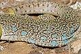 Jewelled Lizard (Timon lepidus) female scalation detail ... (37033521766).jpg