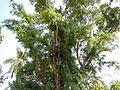 Jf9408Pterocarpus indicus Lubaofvf 09.JPG