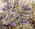 Joshua Tree National Park flowers - Phacelia crenulata - 08.JPG