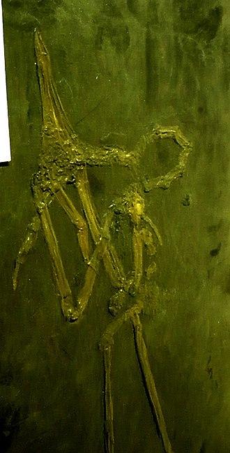 Grebe - Juncitarsus merkeli fossil
