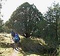 Juniperus maritima Anacortes2.jpg
