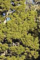 Juniperus osteosperma White - Inyo Range.jpg