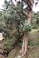 Juniperus oxycedrus kz17 (Morocco).jpg
