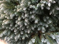 Juniperus squamata 'Blue star'closeup2.jpg