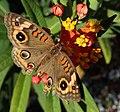 Junonia evarete (West Indian buckeye butterfly) (Florida, USA) 1 (17258653475).jpg