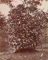 KITLV - 103806 - Coffee bush, probably in Singapore - circa 1890.tif
