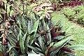 Kaempferia rotunda 2zz.jpg