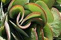 Kalanchoe thyrsiflora Flap Jack 1zz.jpg