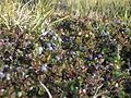 Kangerlussuaq Blueberries Groenland 2009 Expédition ACarré.JPG
