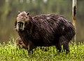 Kapibara 2.jpg