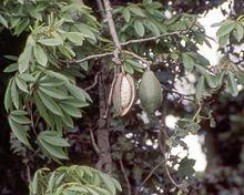 Коробочка хлопкового дерева с