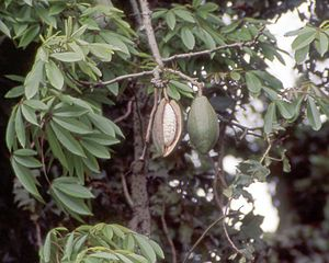 Ceiba - Ceiba pentandra leaves and fruit