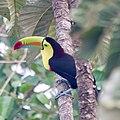Keel-billed toucan (39998053894).jpg