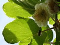 Kiwi flower and bee (2570417903).jpg