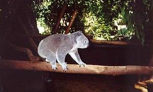 Lone Pine Koala Sanctuary - Image: Koala walking along a branch at Lone Pine