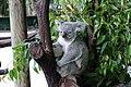 Koala (31269199543).jpg