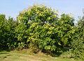 Koelreuteria paniculata B.jpg