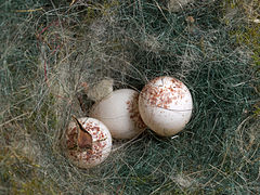 Kohlmeise Parus major Eier in Nest-Nistkasten-002.jpg