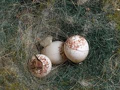Kohlmeise Parus major Eier in Nest-Nistkasten-002.jpg