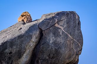 Inselberg - Lion atop a kopje in the Serengeti
