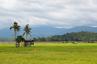 Kota Belud - Image: Kota Belud Sabah Rice Padi 06