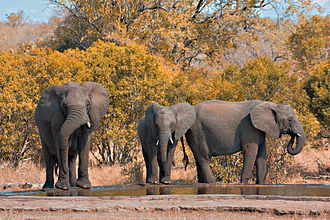 Tourism in South Africa - Elephant family at an artificial waterhole in the Kruger National Park