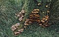 Kuehneromyces mutabilis, Cwmdare Park, October 1975 (25386069009).jpg