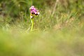 L'ophrys guêpe.jpg