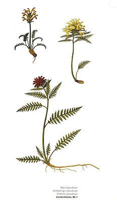 Quirlblättriges Läusekraut (Pedicularis verticillata)