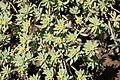 La Palma - Garafía - Vía Puerto de Garafía + Euphorbia balsamifera 04 ies.jpg
