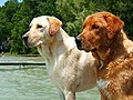 Labrador Retrievers yellow and red.jpg