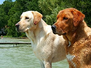 "Yellow and ""fox red"" Labrador Retriever."