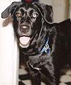 Labrador mix heterochromia.jpg