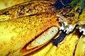 Lacatan Banana close-up.jpg