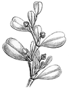 Lactoris fernandeziana Engler 1888 A