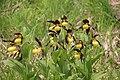 Lady's-Slipper Orchid - Cypripedium calceolus - panoramio (66).jpg