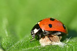 Ladybird with a parasitoid cocoon (7211917770).jpg