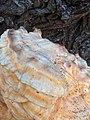 Laetiporus sulphureus 135134148.jpg